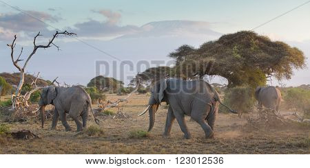 Elephant herd in Amboseli national park in Kenya. Mt. Kilimanjaro in Tanzania can be seen in background. Panoramic composition.