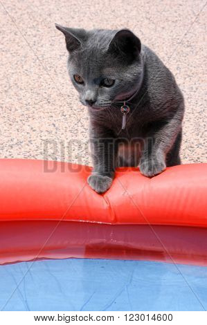Young chartreux cat near a swimming pool