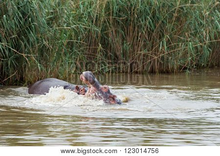 Two hippopotamus fighting in muddy water alongside a reed bank