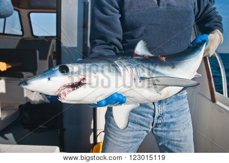 A mako shark being held on a boat with the ampullai or lorenzini clearly shown.