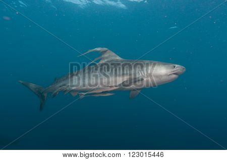 A solitary tiger shark swimming in an open ocean accompanied by remora fish