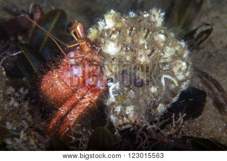 A bright red hermit crab carrying a well camouflaged shell
