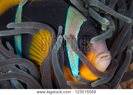A close up portrait of a clown fish nestled in a purple anemone