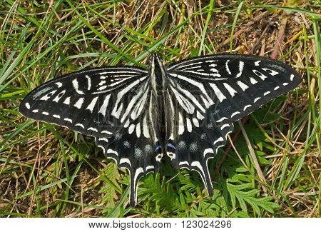 A close up of the butterfly swallowtail (Papilio xuthus) on grass.