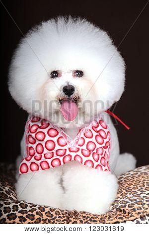 Purebred white Bichon Frise dog isolated in studio.