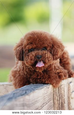 The purebred poodle dog portrait in outdoors