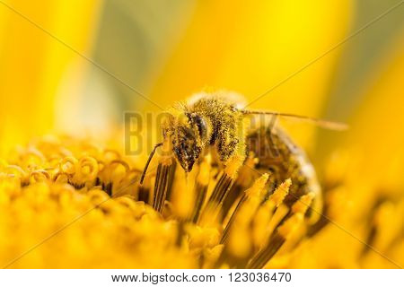 Honey bee pollinating covered with pollen looking down in flower. The animal is sitting on a flower in summer or autumn time. Many little orange pollen on body. Important for environment and ecology.