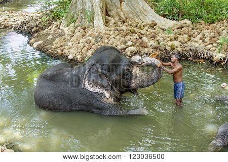 KANDY SRI LANKA - AUG 5 2005: a mahout washes his elephant in the river. The elephant wears heavy chaines to lift up weights.