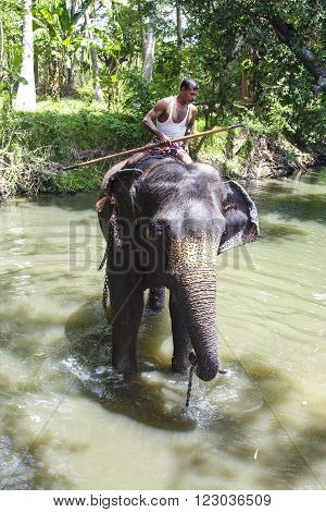 KANDY SRI LANKA - AUG 5 2005: a mahout rides his elephant in the river. The elephant weares heavy chaines to lift up weights.