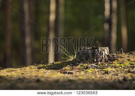 Old dry pine stump on the hill with young spring moss and old pine needles in forest