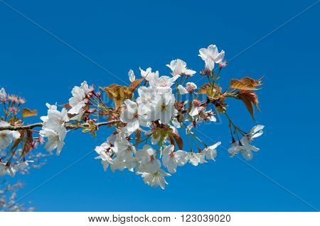 Prunus Rosaceae blossom on a blue background on spring time poster