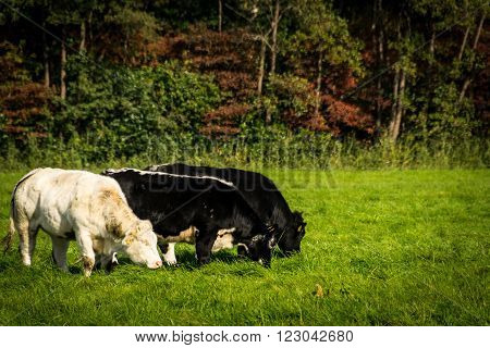 Cows grazing together in a sunny meadow