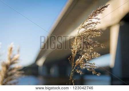 Reeds against the structure of a large bridge