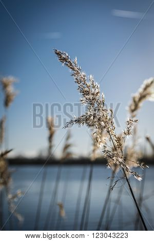 Reeds in hard winters light at the lakeside