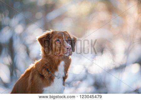 Dog Breed Nova Scotia Duck Tolling Retriever In Winter Park