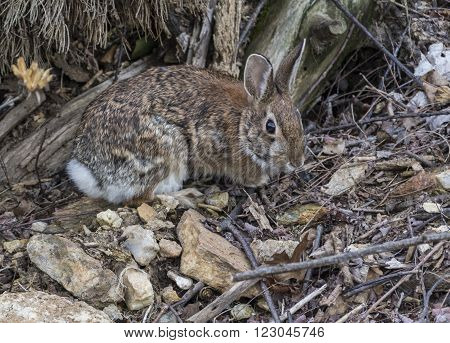 A Cottontail Rabbit (Sylvilagus floridanus) foraging for food in early springime