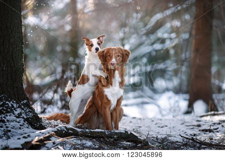 Dog Breed Nova Scotia Duck Tolling Retriever And Jack Russell Terrier In Winter Park