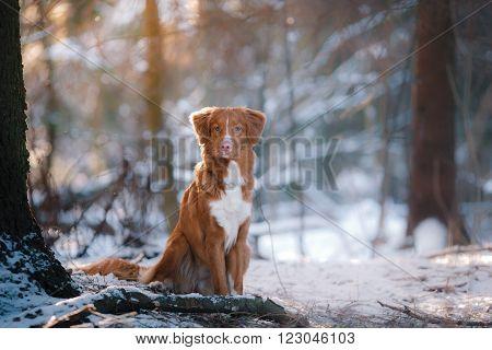 Dog breed Nova Scotia Duck Tolling Retriever walking in winter park