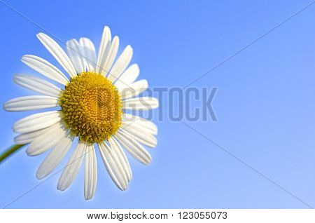 Close up of white Chamomile over blue sky