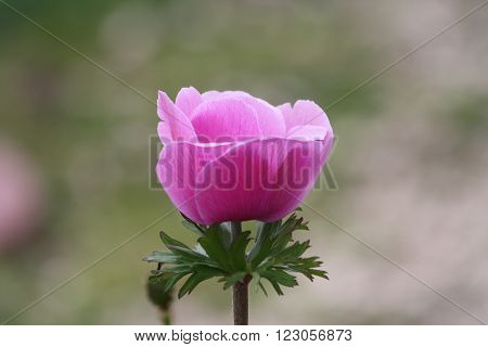 flower bub hatching flora nature spring tulip pink