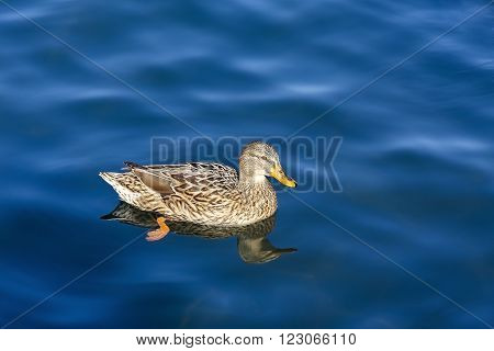 Family of ducks Anatidae female, they swim in the waters of a lake.