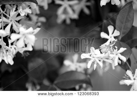 Black And White Closeup Of Jasmine Vine