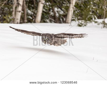 A lone Great Grey Owl in winter