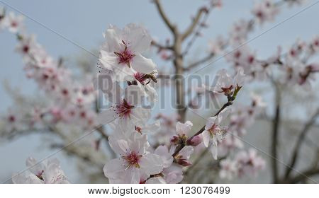 A small bee in the pink flower of the Grossa Dolce (or sweet big) almond tree in spring
