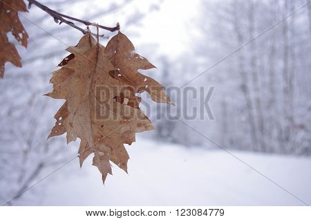 These oak leaves stand out against a winter wonderland and a snow covered road.