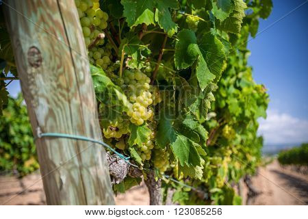 Vine with white grapes in the vineyards