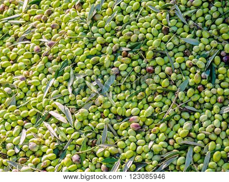 Close up of olives into small scale olive oil mill