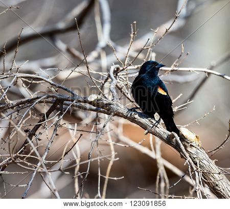 Red Winged Blackbird perched in a Boreal Forest Quebec.