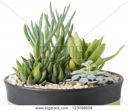 Plant Garden with succulent plants in pot with rocks - Isolated on white background