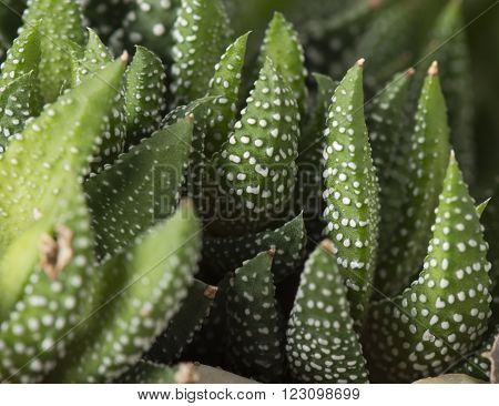 closeup view of a Haworthia Reinwardtii or