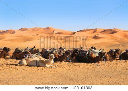 Camels In The Sahara Desert