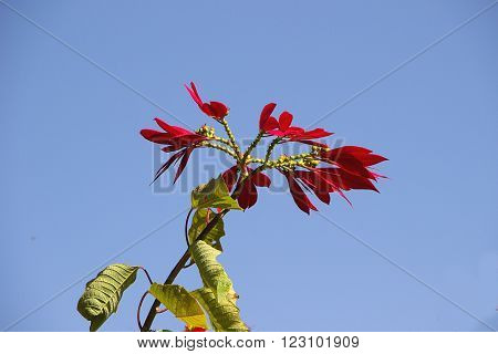 Twig of green leaves and crest of dark red leafy petals set against blue sky
