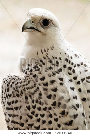 white spotted hawk image  photo free trial  bigstock