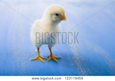 Yellow Chicken On A  Wooden Background