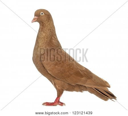 Tumbler belgium pigeon isolated on white