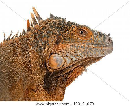 Close up of an iguana isolated on white