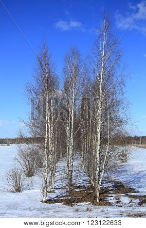 Birch In A Field In Winter