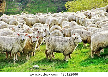 Big flock of sheep in New Zeland nature farm