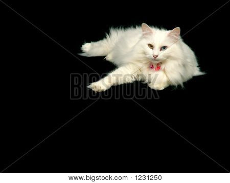 Angora Cat Relaxing
