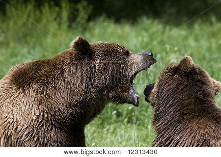 Braunbär (Ursus Arctos), die auf der Suche nach Nahrung