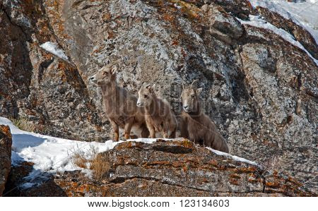 Three Young Bighorn Mountain Sheep outside Jackson Hole Wyoming USA on a rock ledge