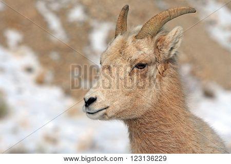 Bighorn Mountain Sheep outside Jackson Hole Wyoming USA