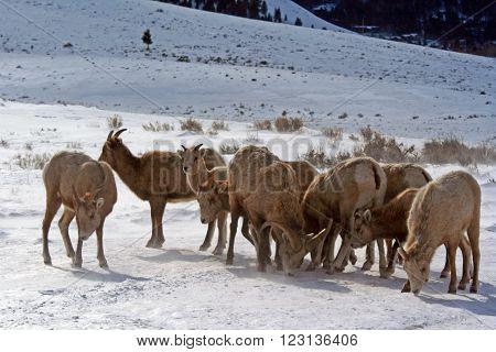 Bighorn Mountain Sheep herd outside Jackson Hole Wyoming USA
