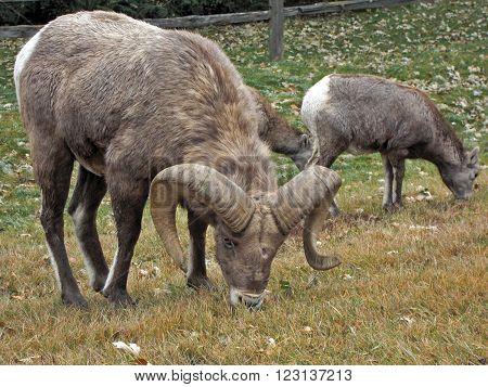 Well fed Bighorn Sheep Ram in Rapid City South Dakota USA