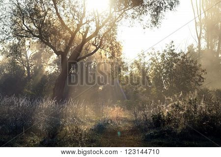 Rising Sun Rays Through The Trees