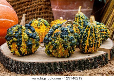 Warty goblin pumpkins on a stump closeup